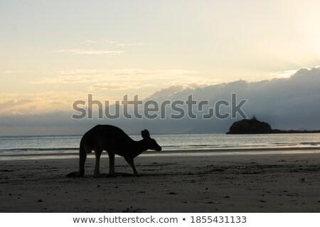 Küçük avustralya kanguru şafak genç mavi Stok fotoğraf © KonArt