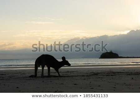 Faible kangourou aube jeunes bleu Photo stock © KonArt