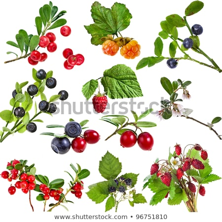 Green branches of whortleberries isolated on a white background. Stock photo © lypnyk2