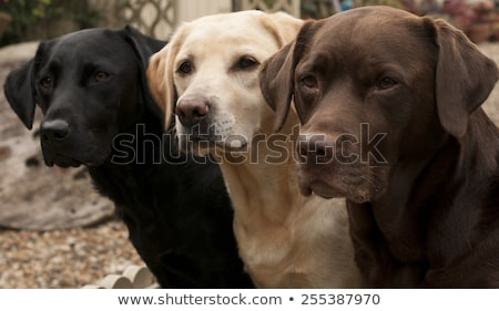 Yellow and chocolate Labrador Stock photo © eriklam