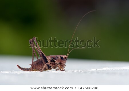 Dark Bush-cricket stock photo © suerob