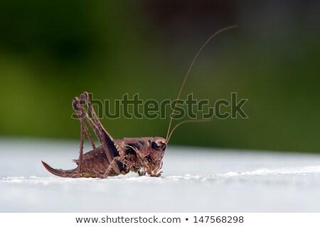 Stock photo: Dark Bush-cricket