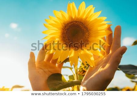 girassol · amarelo · fundo · canto · arquivo · flor - foto stock © danielgilbey