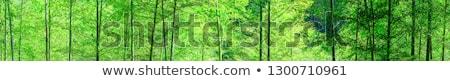 Groene bamboe bos lichten boom gras Stockfoto © yuliang11