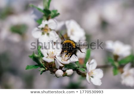 Bumblebee Near Flower Stock photo © cosma