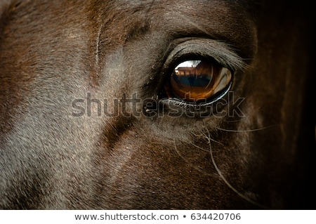 Stock photo: brown horse head close up portrait