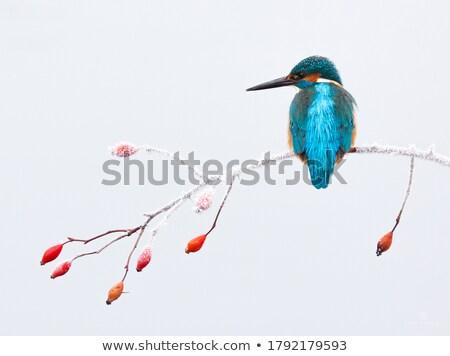 Stockfoto: Ijsvogel · portret · sneeuw · oranje · vogel · Blauw