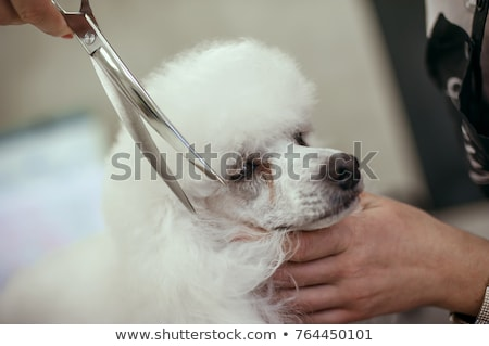 poodle and scissors Stock photo © cynoclub
