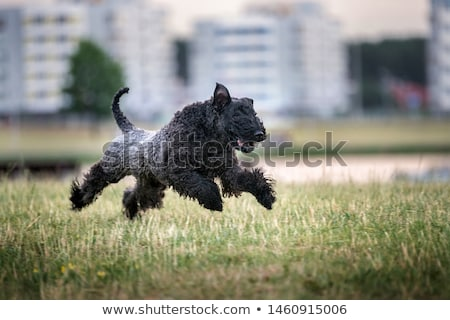 Portrait of Kerry Blue Terrier Stock photo © CaptureLight