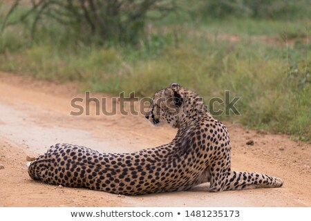 Cheetah on it's Back Stock photo © fouroaks