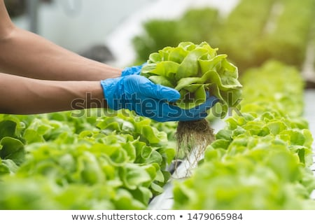 üvegház · édes · eprek · étel · levél · zöld - stock fotó © devon