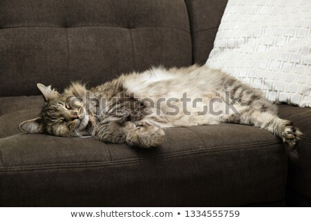 Adorable fluffy tabby cat Stock photo © dnsphotography
