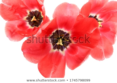 Closeup red tulip inside stamens flower Stock photo © fotoaloja
