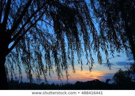 Fűzfa kék ég nagy tavasz fű fa Stock fotó © meinzahn