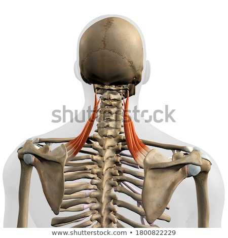 解剖 · 肩 · ブレード · 骨 · 腕 · のような - ストックフォト © 7activestudio
