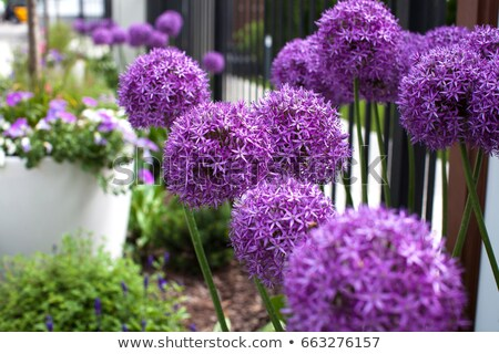 allium allium giganteum stock photo © chris2766