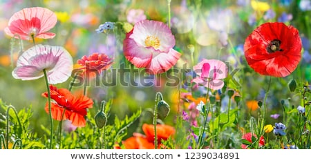Summer field of red poppies and wild flowers stock photo © alinbrotea