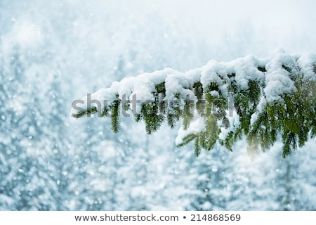 Spruce branch covered with snow on white  Stock photo © Valeriy
