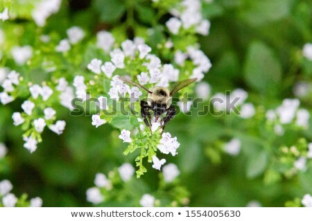 Macro Photo Of Bee Gathering Pollen From Purple Allium Flower Stock photo © radub85