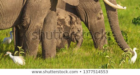 A young Elephant calf in between the legs of adult Elephants. Stock photo © simoneeman
