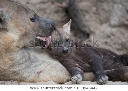 Hiéna kutyakölyök anya park Dél-Afrika állatok Stock fotó © simoneeman
