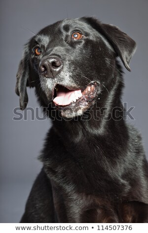 Stock photo: cute mixed breed dog relaxing in dark studio