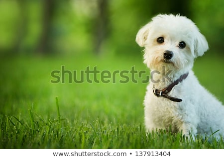 cute maltese dog sitting in grass stock photo © Yatsenko