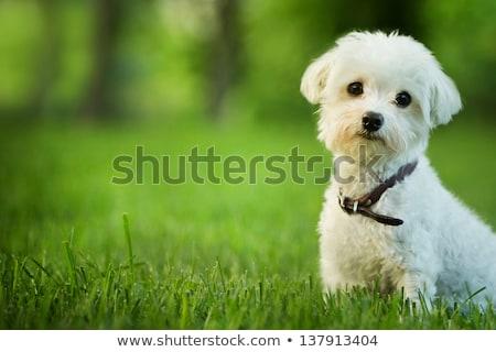 Aranyos kutya ül fű kint nap Stock fotó © Yatsenko