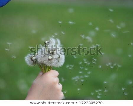 karahindiba · tohumları · uçan · uzak · çiçek · çim - stok fotoğraf © is2
