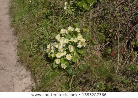 Sarı bahar cornwall doğa bahçe Stok fotoğraf © latent