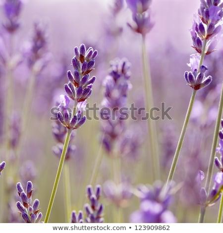 Lavanda flores natureza paz animal Foto stock © IS2