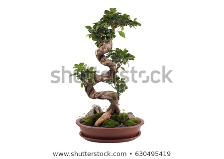 ficus bonsai isolated stock photo © antonio-s