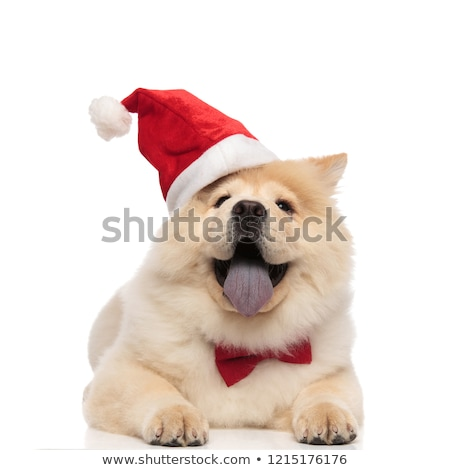 happy santa chow chow with bowtie relaxing and panting Stock photo © feedough
