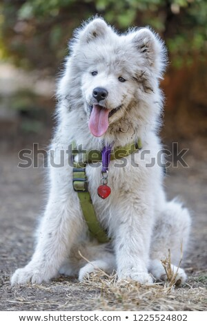 Samoyed Dog Puppy Female taking a break Stock photo © yhelfman
