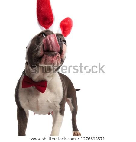 好奇心の強い · アメリカン · 子犬 · 犬 · 着用 · ルックス - ストックフォト © feedough
