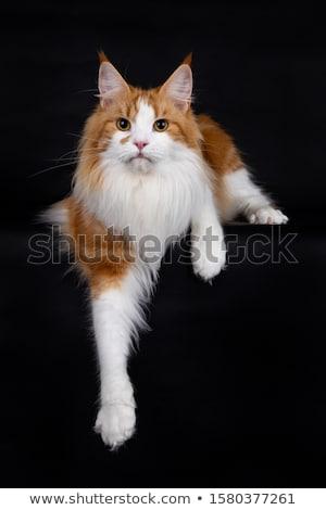 Stockfoto: Cute · Blauw · Maine · kat · kitten · geïsoleerd