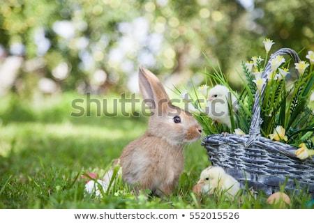 üç küçük civciv sepet örnek doğa Stok fotoğraf © colematt