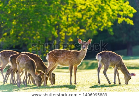 sika fawn deer in nara park forest japan stock photo © daboost