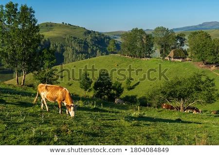 Tehenek vidéki közelkép nyáj háziállatok természet Stock fotó © taviphoto