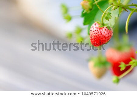 Stock photo: Ripe red strawberry berry with green leaves