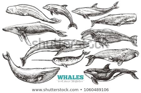 Hand drawn killer whale. Vector illustration in sketch style Stock photo © Arkadivna