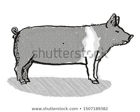 Hampshire Pig Breed Cartoon Retro Drawing Stock photo © patrimonio
