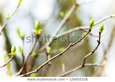 бутон дерево рано весны небе Сток-фото © tepic