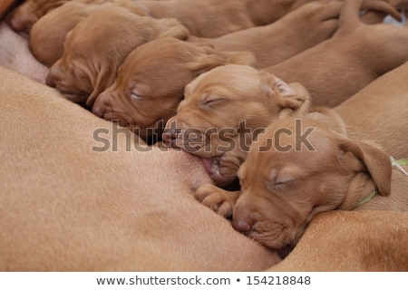 puppy suckle Stock photo © cynoclub