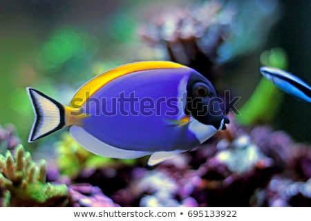 acanthurus leucosternon Stock photo © cynoclub