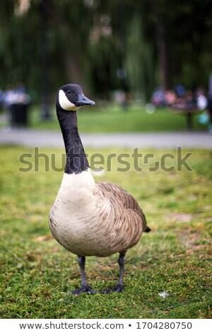Oie marche herbe verte brun herbe nature Photo stock © bobbigmac
