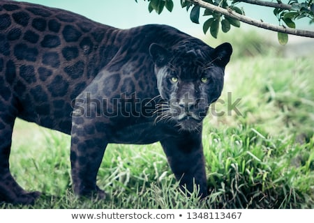 The black panther is hunting Stock photo © ajlber