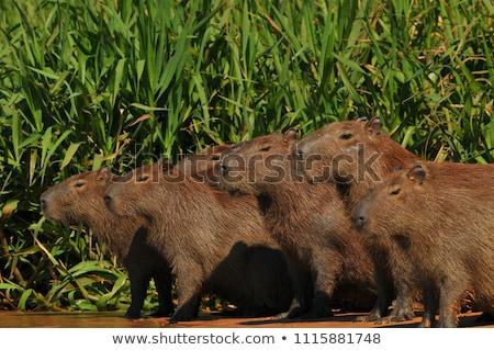 Сток-фото: группа · женщины · трава · портрет · свинья · смешные