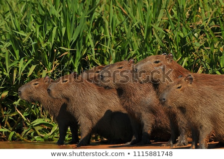 The group of capybara Stock photo © frank11