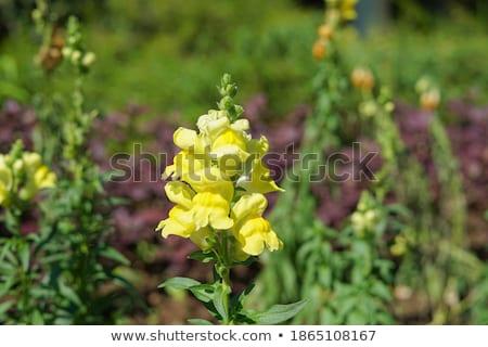 yellow snapdragon flowers Stock photo © prill
